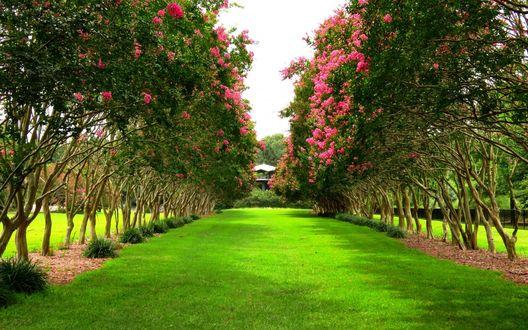 Обои Аллея, проходящая меж цветущих деревьев, устланная зеленой травой