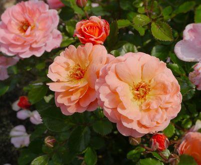 Обои Розовые чайные розы, by auntmasako
