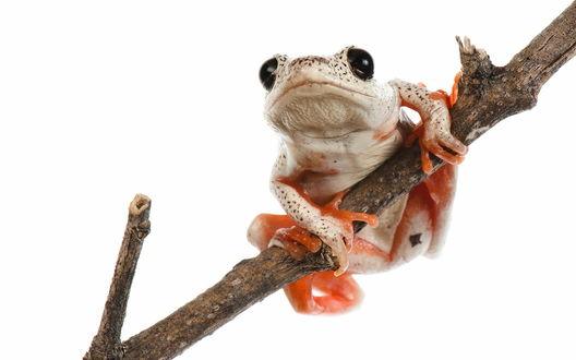 Обои Белая лягушка с красными лапками висит на ветке