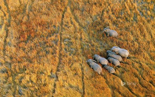 Обои Семейство слонов путешествует по саванне, bing