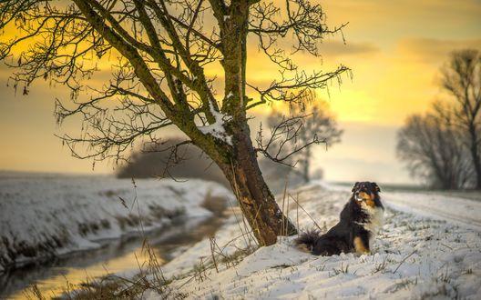 Обои Пес породы australian shepherd / Австралийская овчарка сидит на снегу на берегу реки