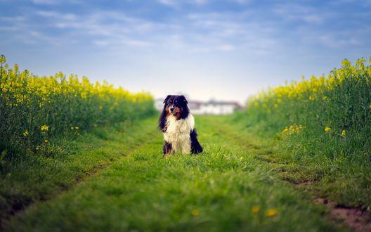 Обои Пес породы australian shepherd / Австралийская овчарка сидит на дороге, проходящей сквозь поле с желтыми цветами