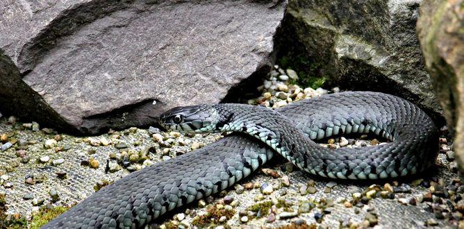 Обои Змея лежит у камней, by pixel2013