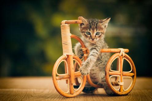 Обои Котенок с игрушечным велосипедом, фотограф Коротун Юрий