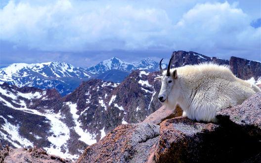 Обои Колорадо, США, горный козел лежит на вершине горы Эванс