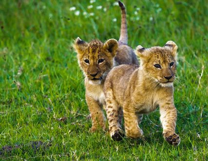 Обои Два львенка на траве