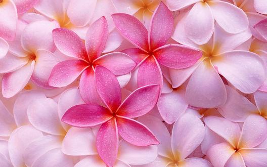 Обои Розовые цветки экзотической плюмерии