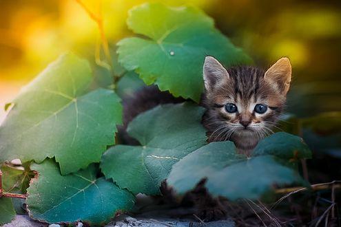 Обои Голубоглазый котенок в зеленой листве, фотограф Коротун Юрий