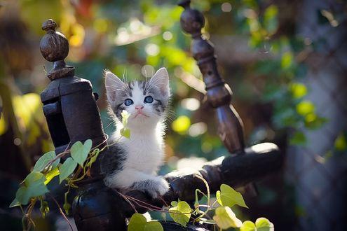 Обои Голубоглазый маленький котенок, фотограф Коротун Юрий
