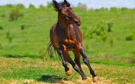 Обои Гнедой конь скачет по зеленому полю
