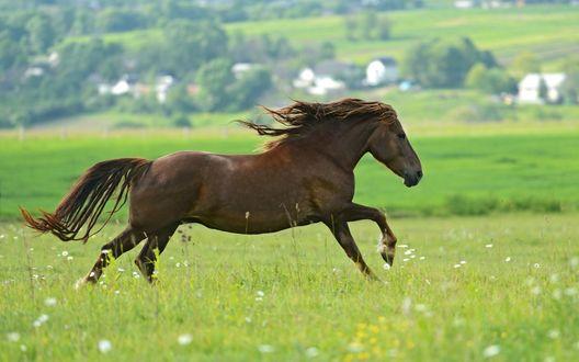 Обои Гнедой конь гуляет по зеленому полю