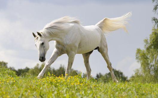 Обои Белый конь среди зеленой травы на фоне серого неба