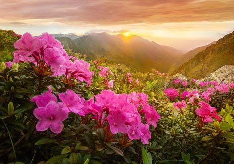 Обои Первые лучи солнца освещают горы, на переднем плане кусты розовых цветов, от borda