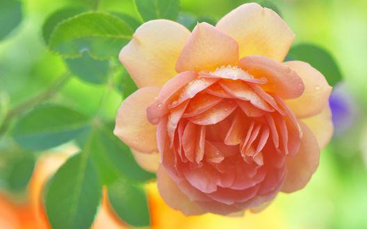 Обои Бутон розово-желтой розы в капельках росы