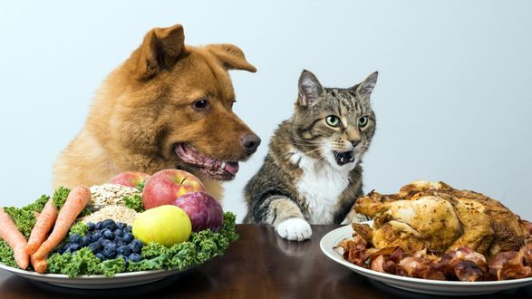 Обои Вопиющая несправедливость - перед серым котом блюдо с жареной курицей у собаки блюдо с овощами и фруктами, кот в восторге, пес умирает от зависти