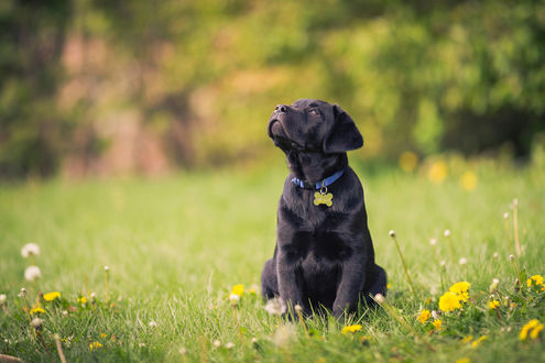 Обои Черный щенок породы ретривер в ошейнике с косточкой сидит на зеленой траве и смотрит вверх