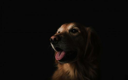 Обои Пес породы лабрадор сидит в темноте