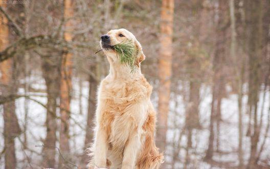 Обои Пес породы золотистый ретривер смирно сидит, держа в зубах еловую ветку