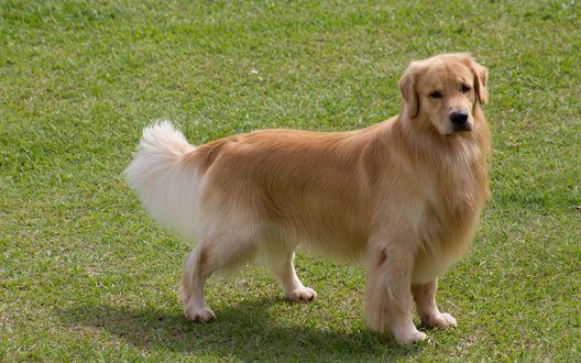 Обои Величественный пес породы золотистый ретривер на зеленой лужайке