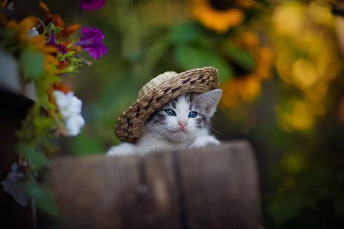 Обои Голубоглазый котенок в шляпе, фотограф Коротун Юрий