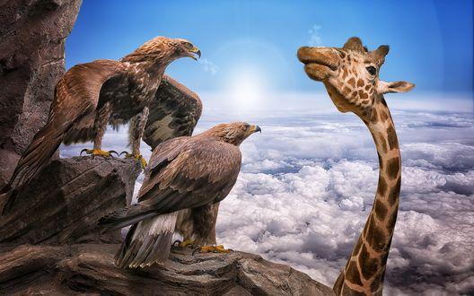 Обои Два сидящих на вершине горы орла, удивленно смотрят на жирафа