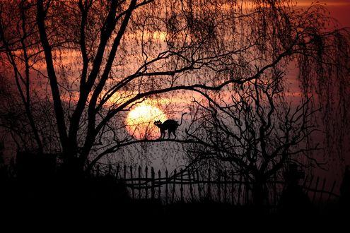 Обои Силуэт черного кота на ветке в саду у забора, на закате дня, фото + компьютерная графика, by Cocoparisien