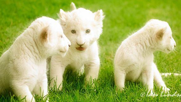 Обои Маленькие львята сидят на траве