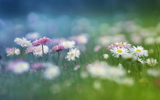 Обои Белые и лиловые ромашки среди зеленой травы на фоне боке, фотограф P Laura
