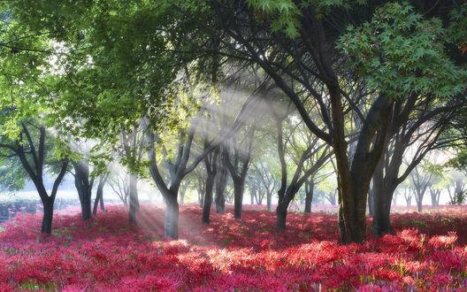 Обои Красные ликорисы растущие среди деревьев в парке