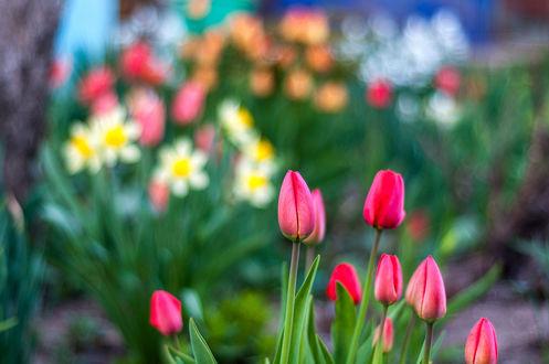 Обои Розовые тюльпаны на размытом фоне цветов, фотограф Dmitry Leontev