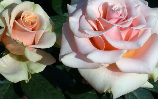 Обои Две нежно-розовые розы