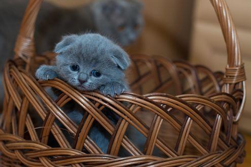 Обои Грустный британский котенок сидит в плетенной корзинке