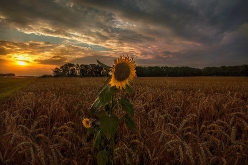 Обои Подсолнухи в поле пшеницы, фотограф Коротун Юрий