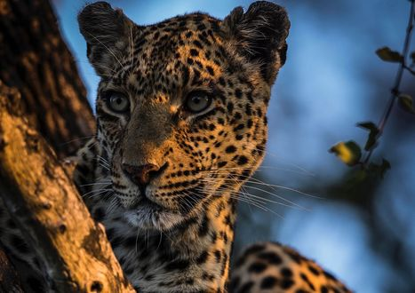 Обои Леопард на дереве, фотограф Chris Fischer