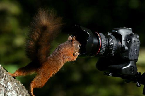 Обои Любопытная белка сунула свою мордочку в объектив фотоаппарата