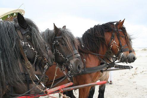 Обои Запряженная тройка лошадей