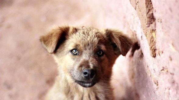 Обои Красивый щенок у стены