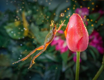 Обои Лягушка в прыжке к тюльпану, фотограф William Lee