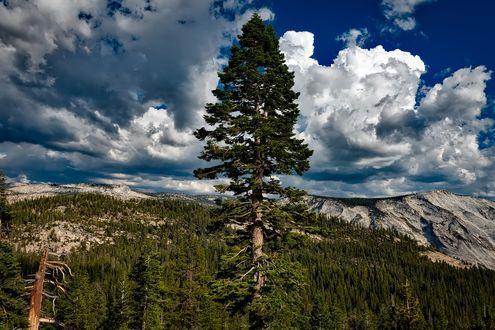 Обои Одинокая высокая сосна на фоне леса, гор и неба с облаками, by David Mark