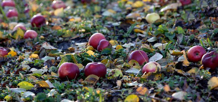 Обои Яблоки лежат в листве