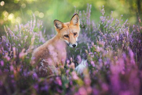 Обои Лиса сидит на поляне в цветах, фотограф Iza Lysoń