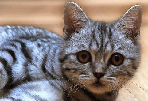 Обои Серая кошка крупным планом, by alino4eg