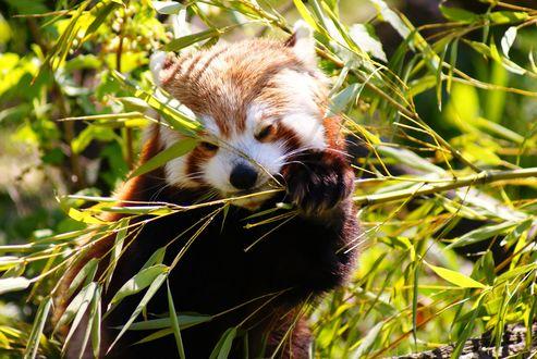 Обои Красная панда в зарослях куста, by kaz turner