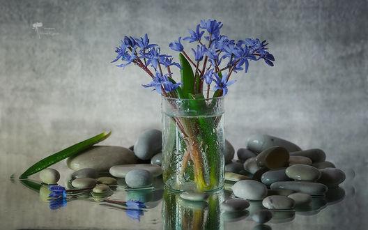 Обои Цветы синей пролески в стеклянном стакане, в окружении камней на мокрой поверхности, фотограф, Инна Сухова