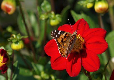 Обои Бабочка сидит на красном георгине, by suju