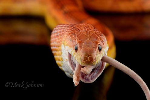 Обои Желтая змея, фотограф Mark Johnson