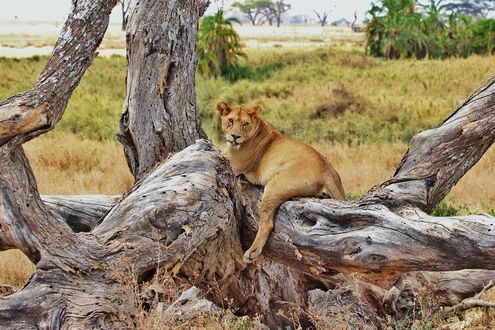 Обои Львица лежит на старых поваленных деревьях