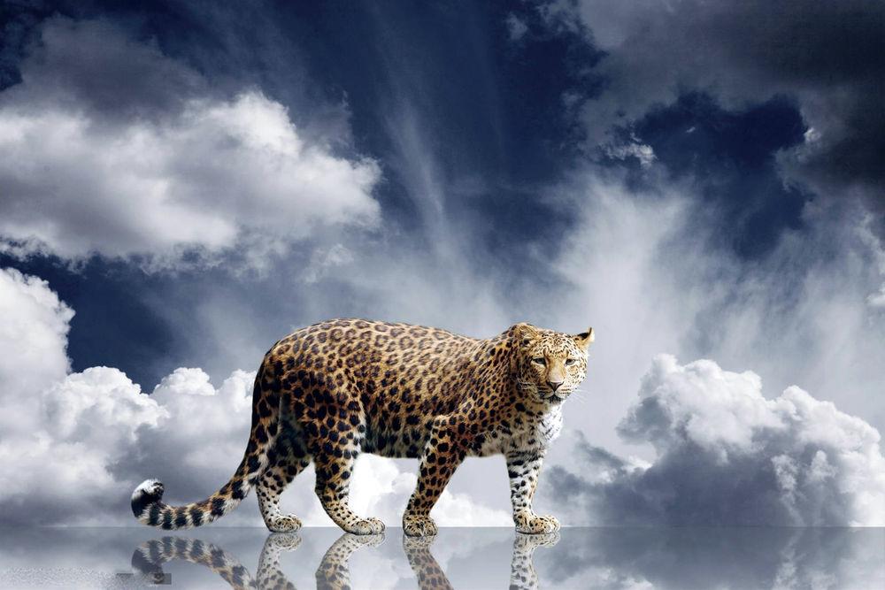 Обои для рабочего стола Леопард на зеркальной поверхности на фоне неба и облаков