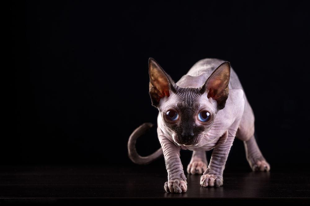 Обои сфинкса кота