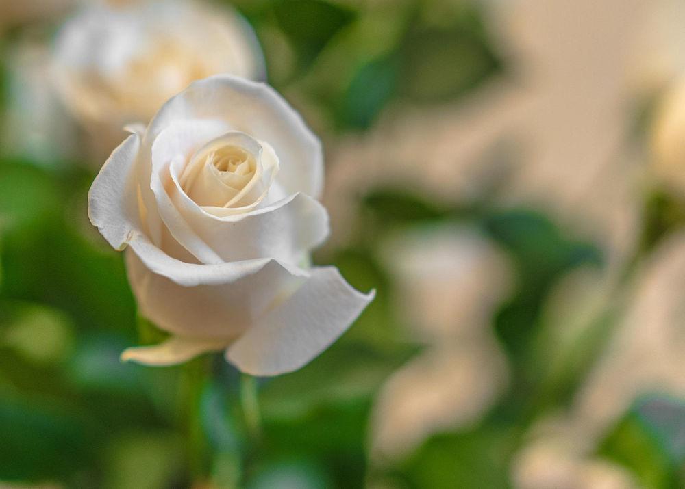 Обои для рабочего стола Белая роза на размытом фоне, фотограф Nikolay Roshchin